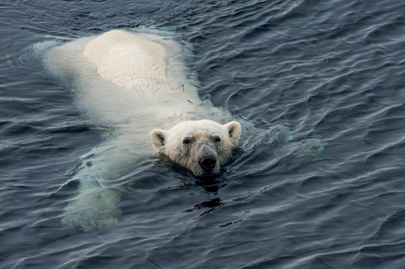 ... verso l'80° parallelo nord (16) ... l'orso ci assedia...