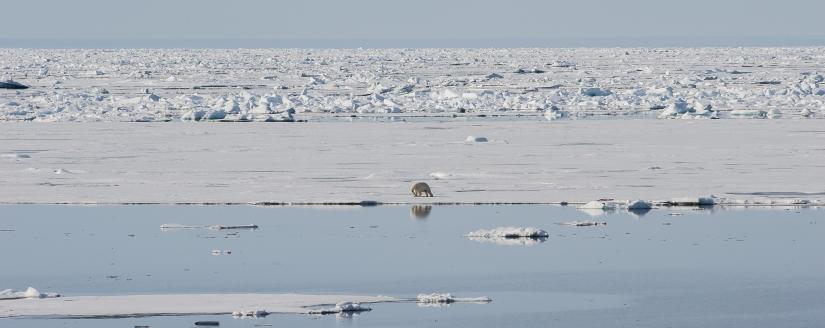 ... verso l'80° parallelo nord (18) ... l'orso e le sue prede ...