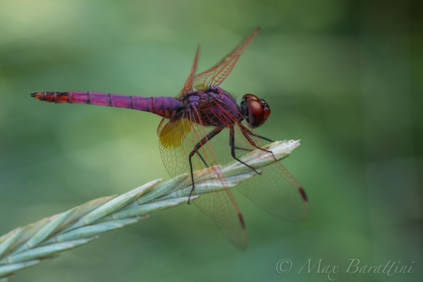 Selys Dragonfly