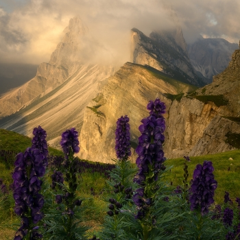 Aconitum's Sunset