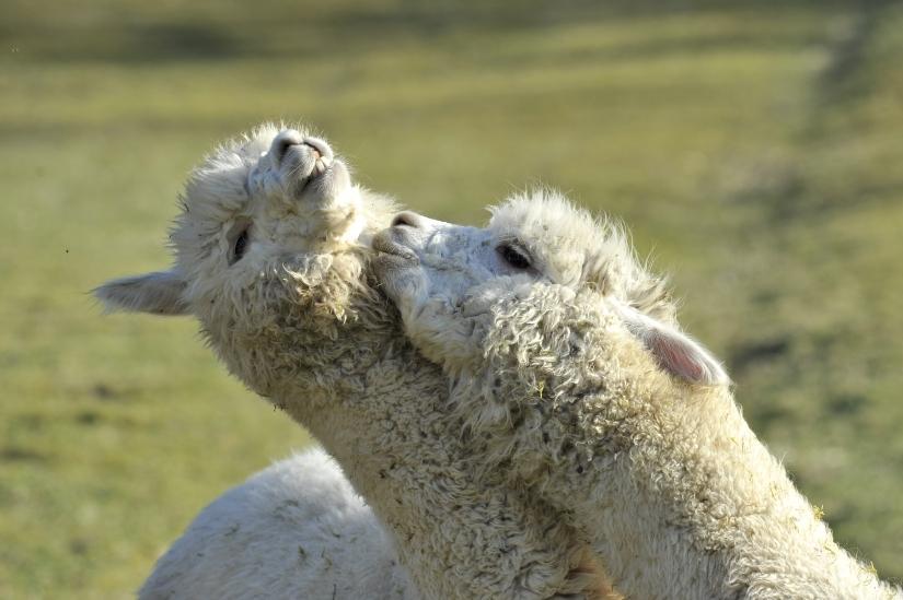 Alpaca in Amore
