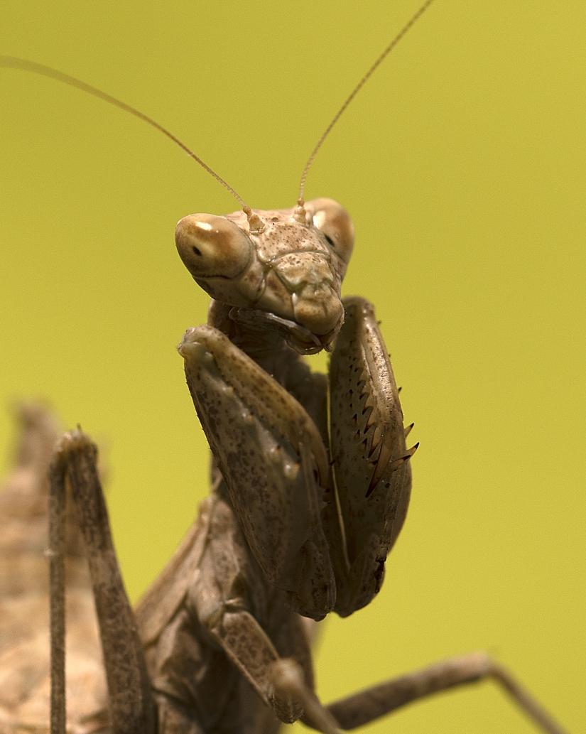 Ameles fasciipennis