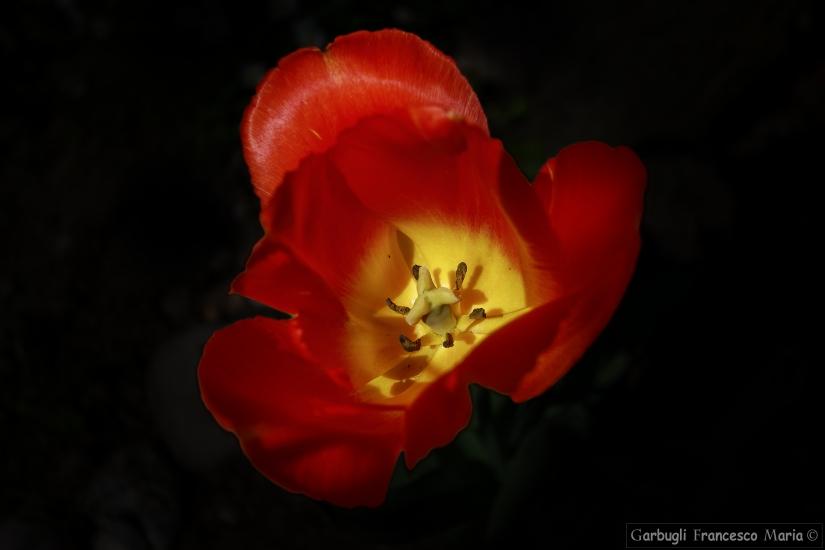 Analisi ad un Tulipano