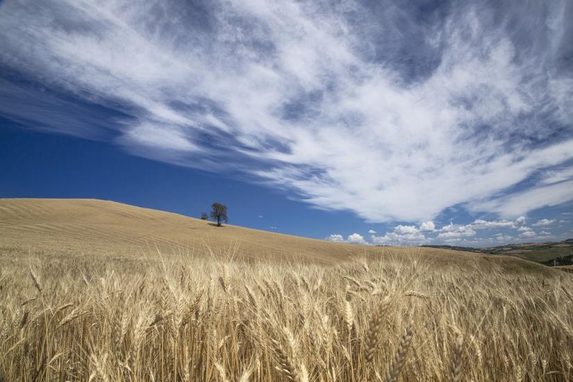 Campo di grano.