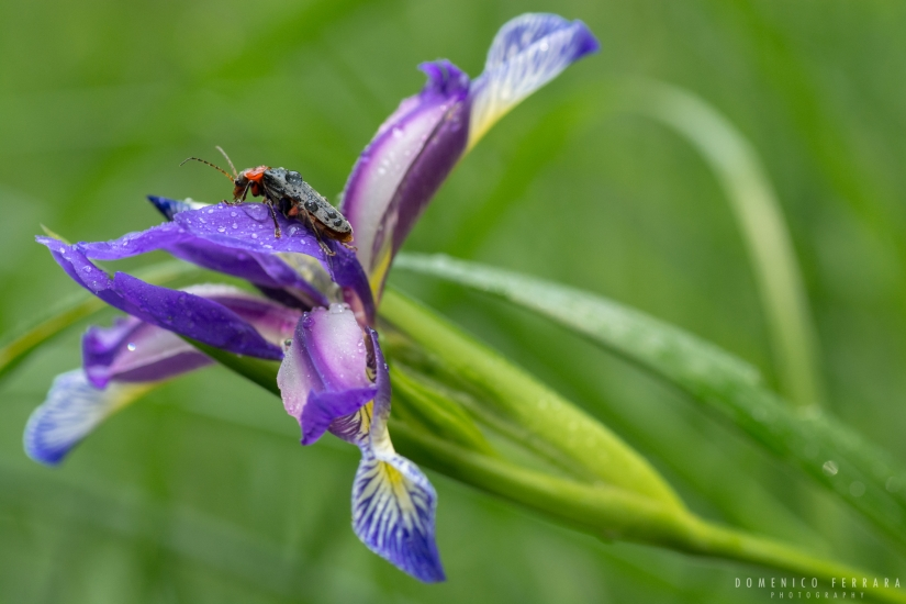 Cantharis fusca su Iris Graminea