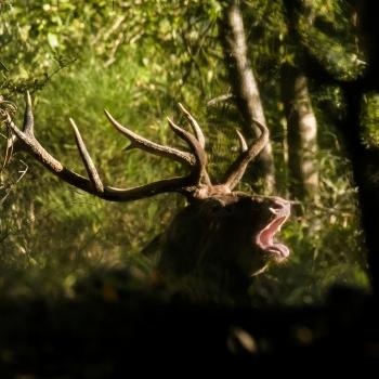 Cervo al bramito