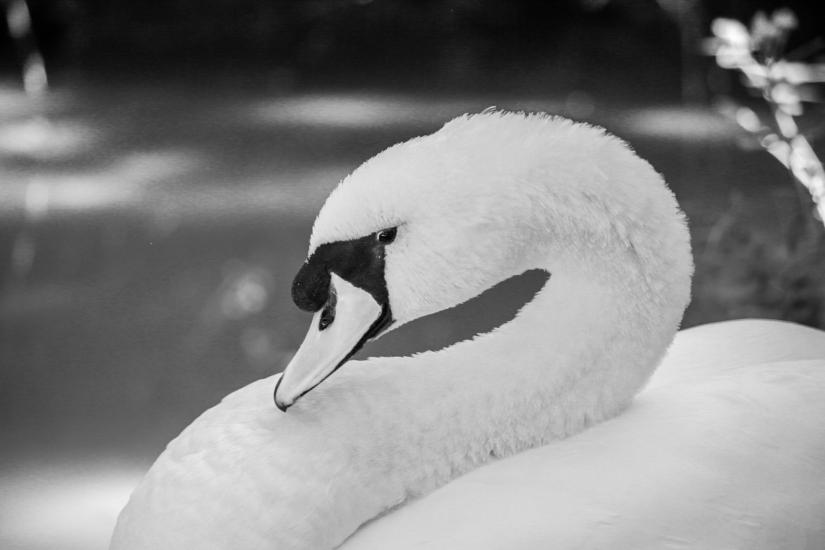 CIGNO in bianco&nero