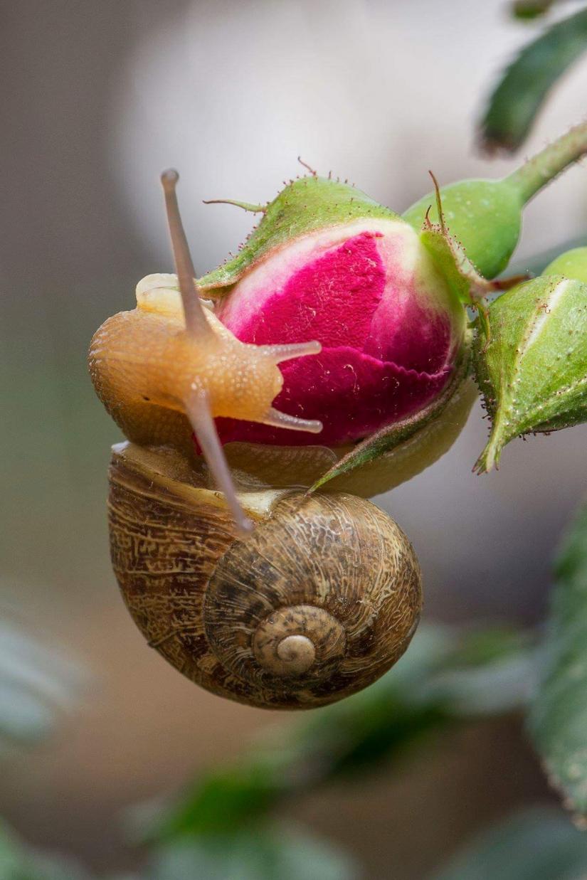 Come un bocciolo di rosa