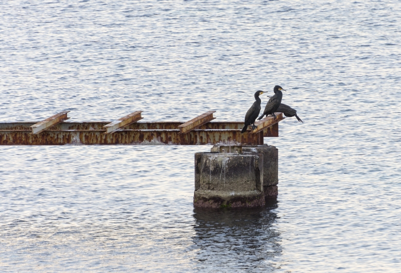 Cormorani a Torre a Mare