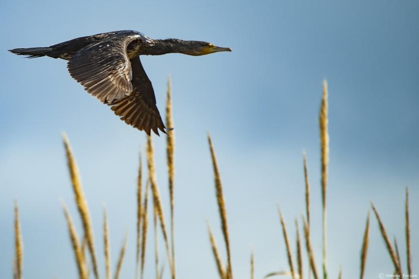 Cormorano in volo