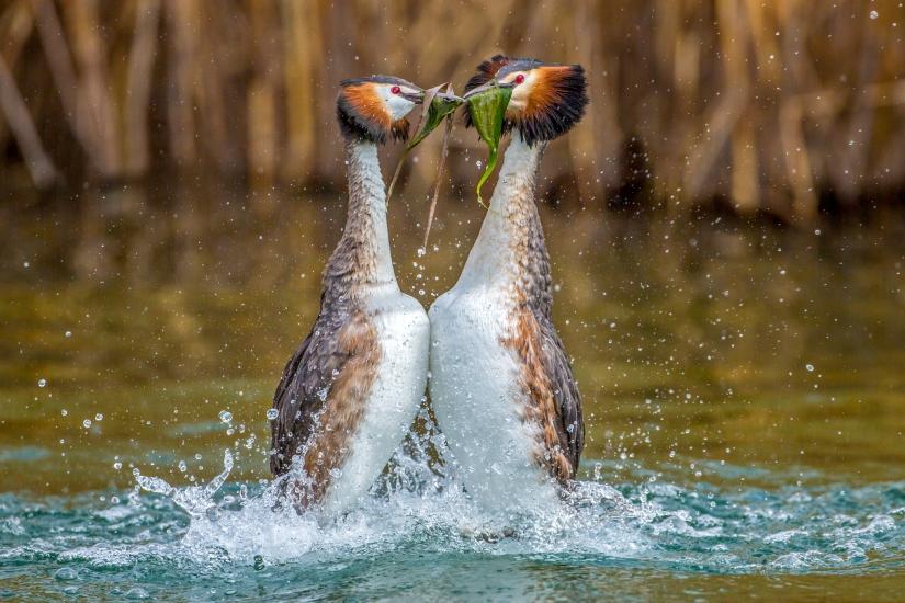 Danza del pinguino