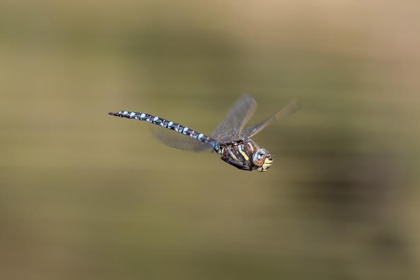 Dragone alpino