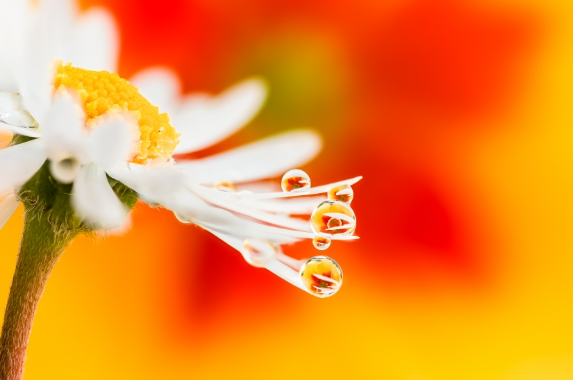 Drops e Flowers Gocce e Fiori Riflessi by Mario JR Nicorelli - Macro Fotografia
