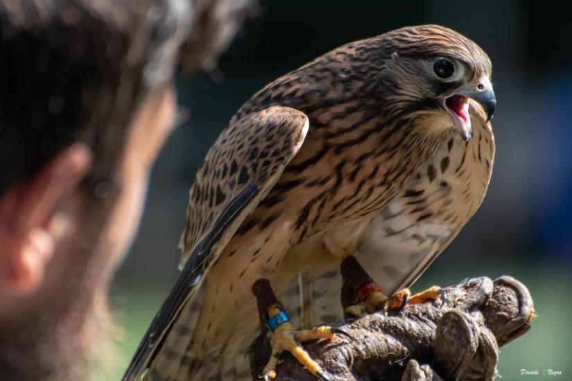 Falco e falconiere