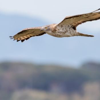 Falco pecchiaiolo in migrazione