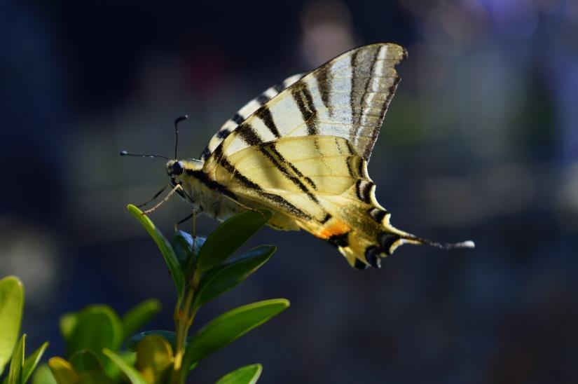Farfalla4.1