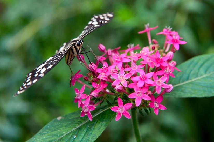 Farfalla con ali nere