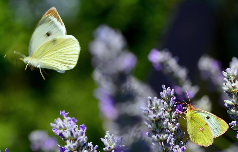 Farfalla in volo
