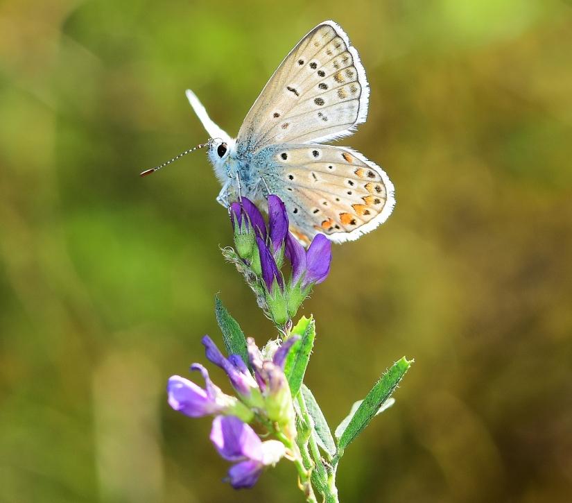 Farfalle d autunno