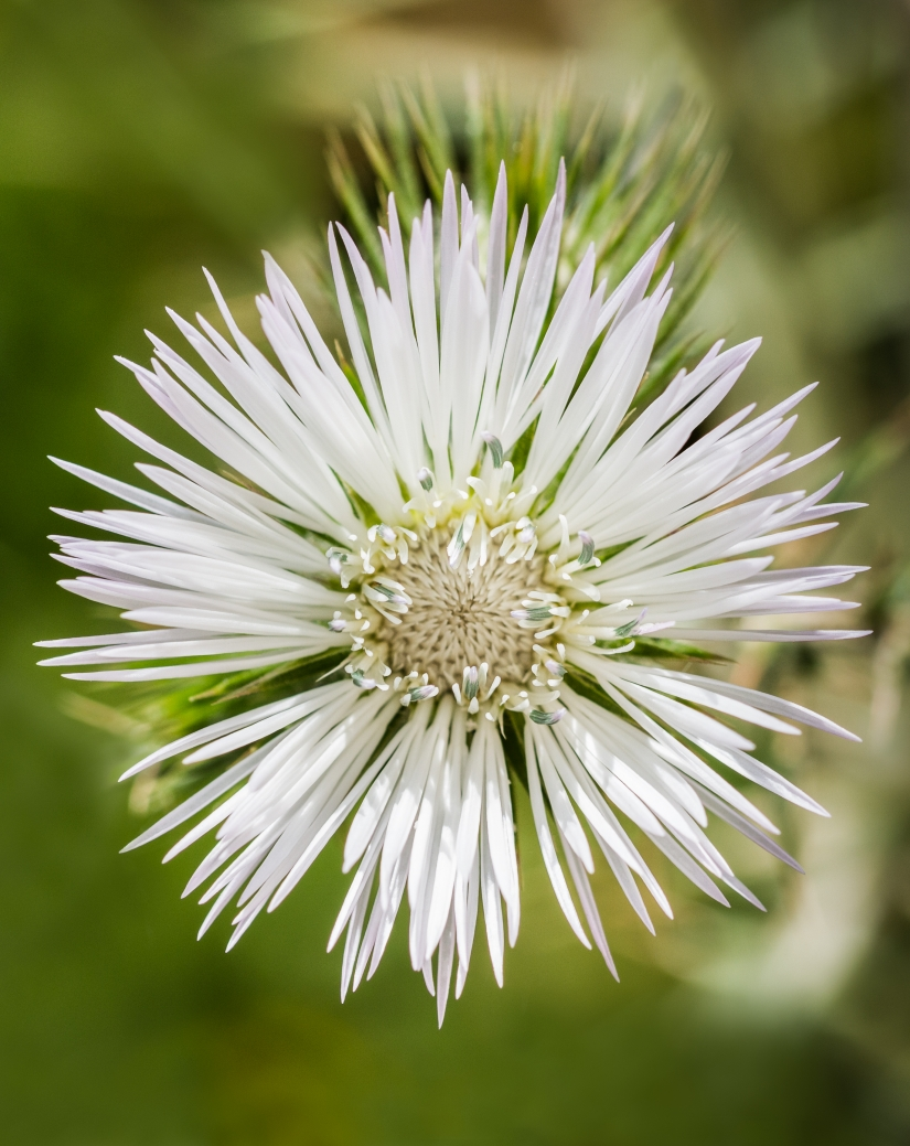 Fiore di spina