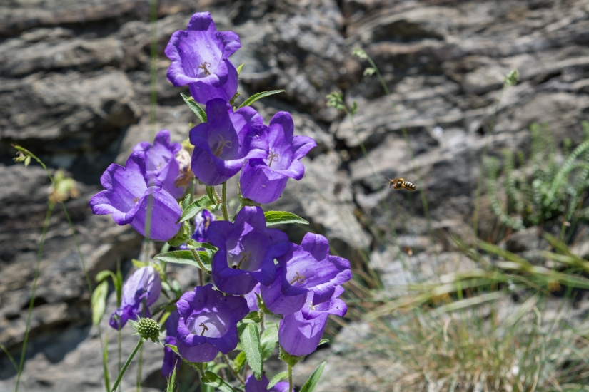 Fiori di montagna e rose Black Baccara