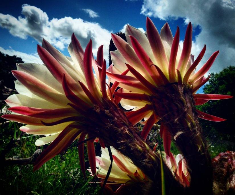 Fiori Echinopsis