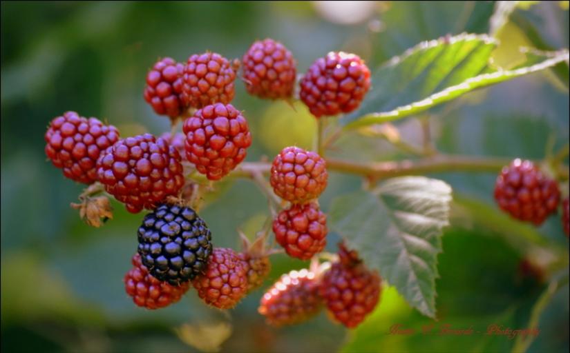 Fruto de la pianta di mora