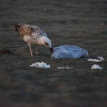 Gabbiani sulle spiagge di Ostia Lido
