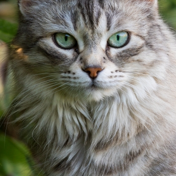Gatta siberiana con pelo lungo color grigio silver