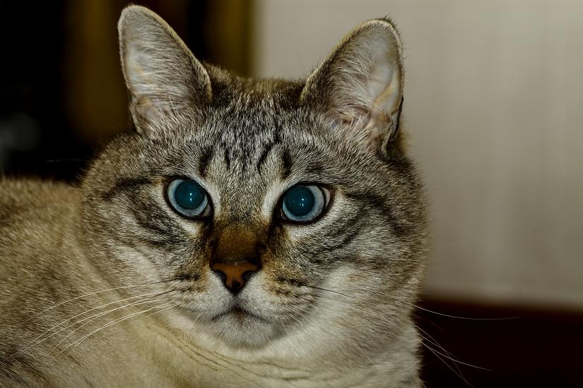 Gatto mocaccino