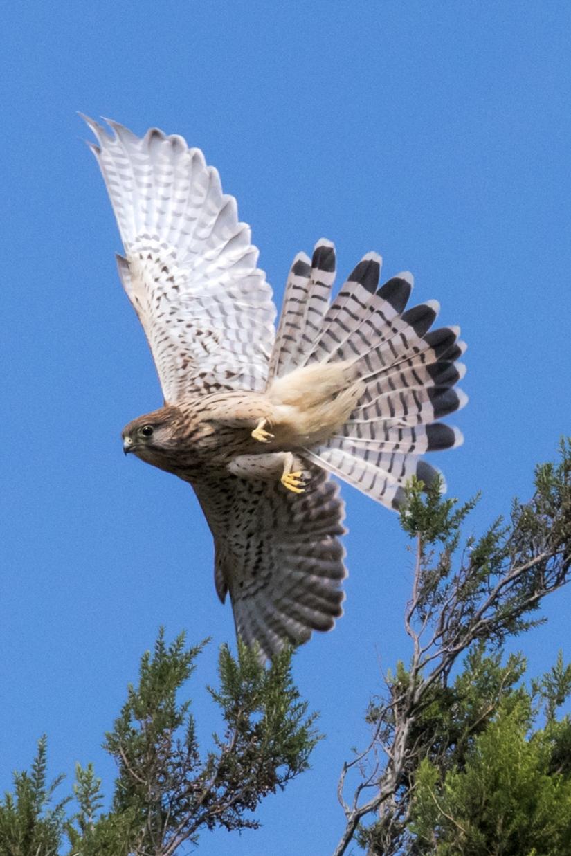 Gheppio comune (Falco tinnunculus) femmina
