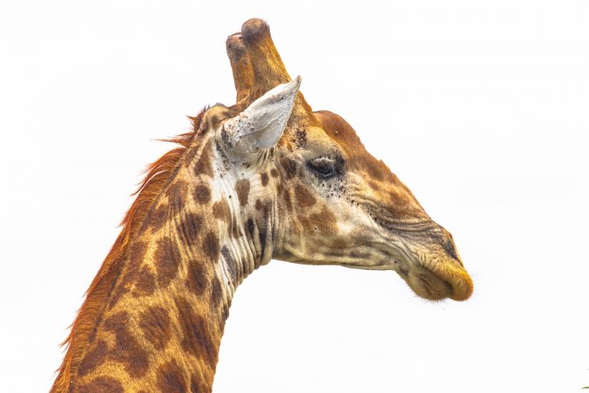 Giraffa sud africana