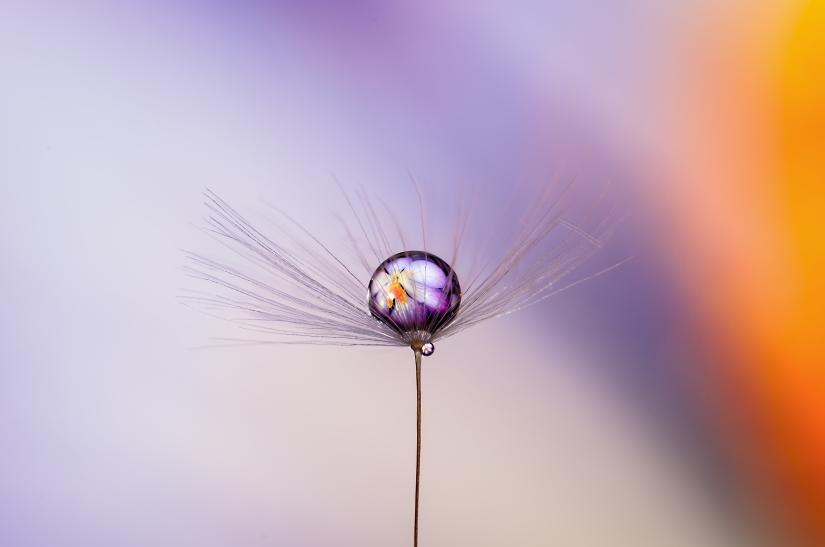 Gocce su seme di tarassaco