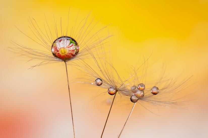 Goccie su seme di tarassaco