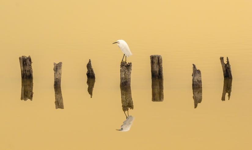Gold egret