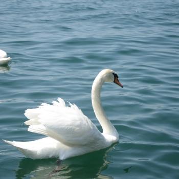 I cigni del lago d'Iseo