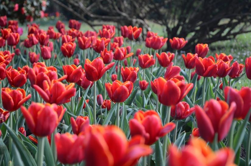 I tulipani di Villa Taranto