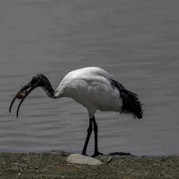 ibis con preda