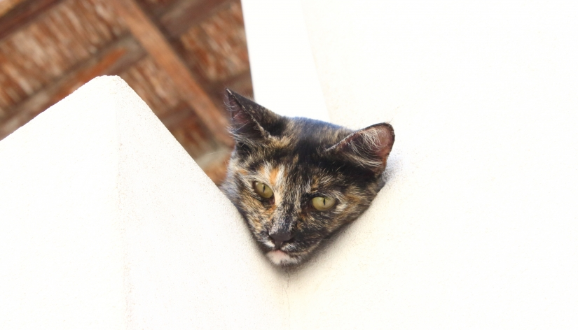 Il gatto di Lipari