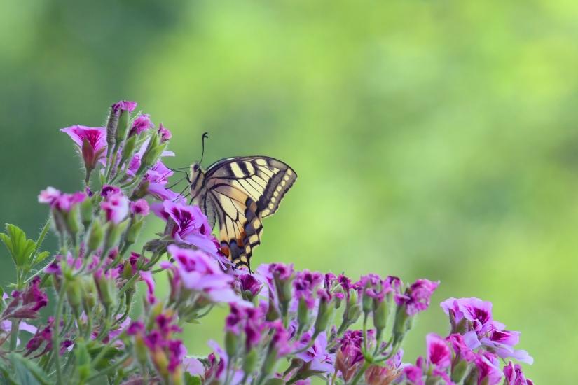 Il papilio Machaon sul fiore del geranio