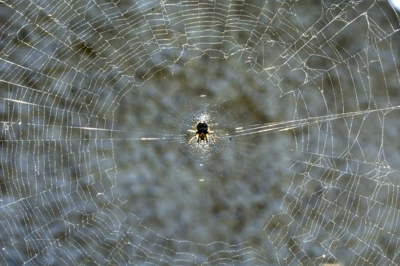 Il ragno tesse la sua