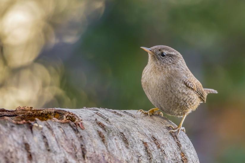 Il Re degli Uccelli.