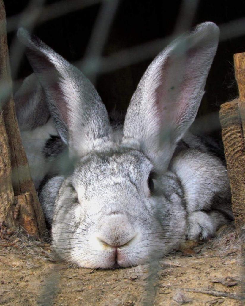 Il riposo del coniglio