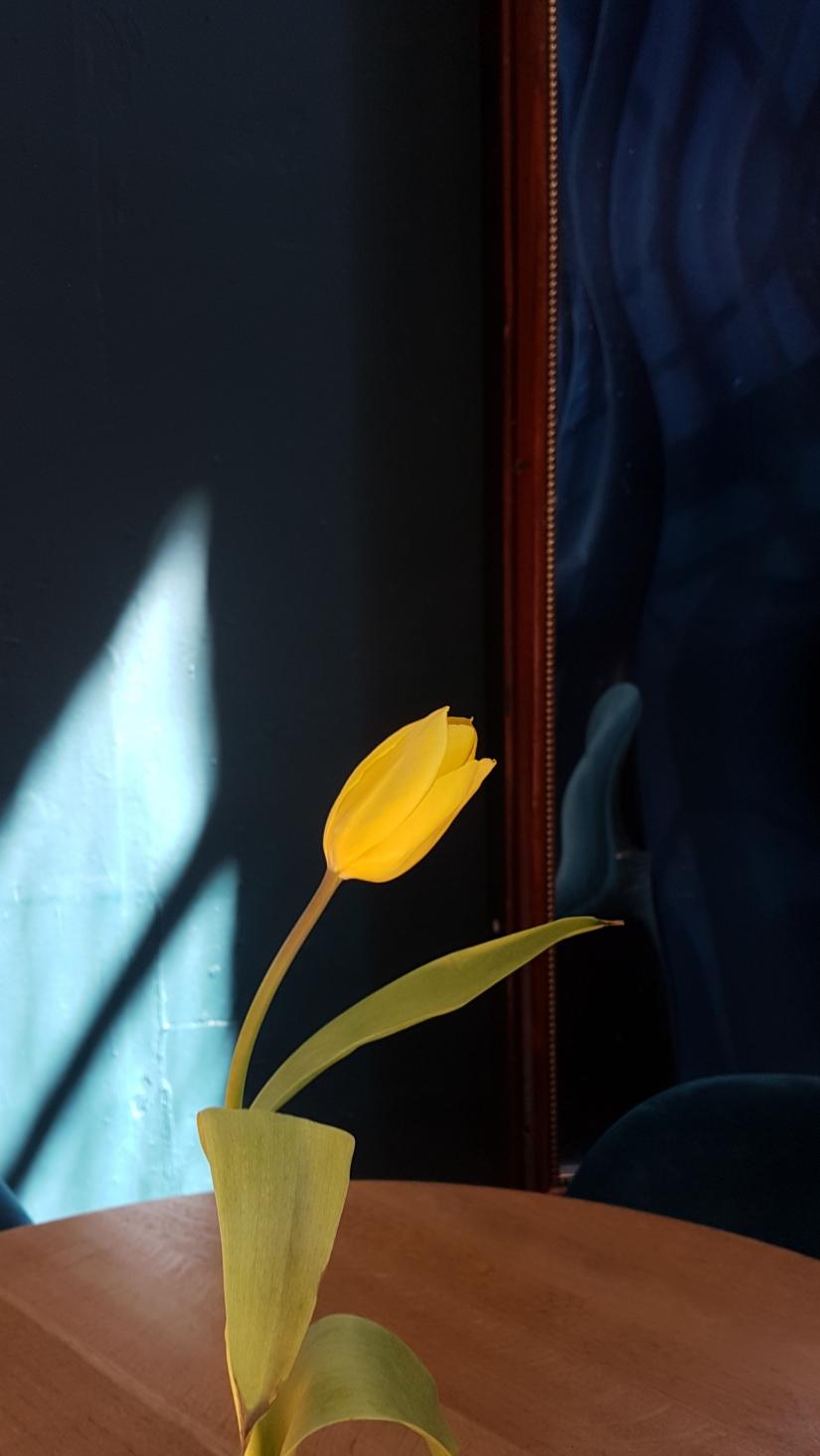 Il tulipano giallo