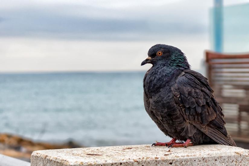 In..piccione