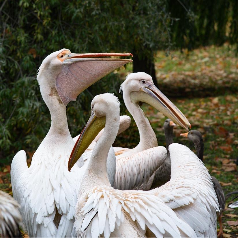It's raining pelicans