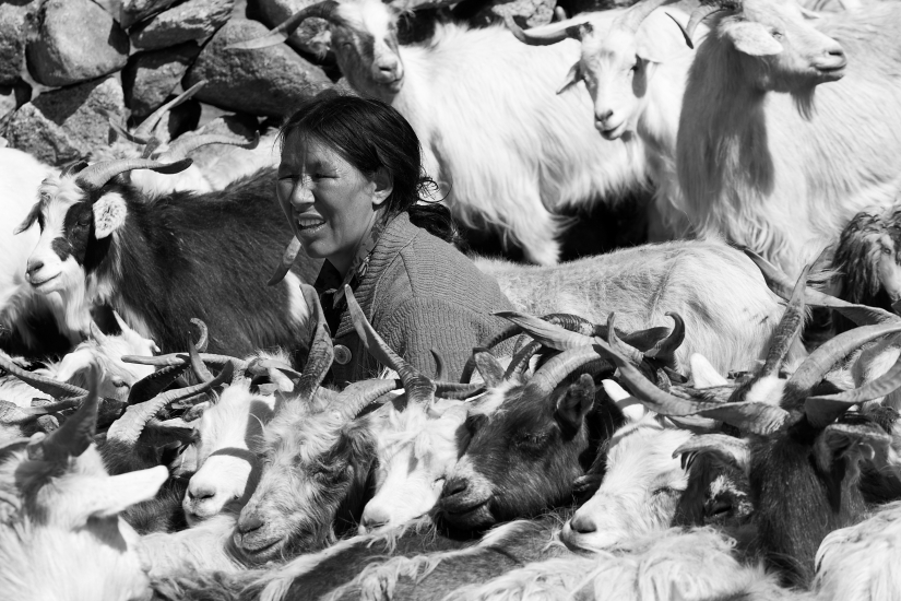 Khampa shepherd
