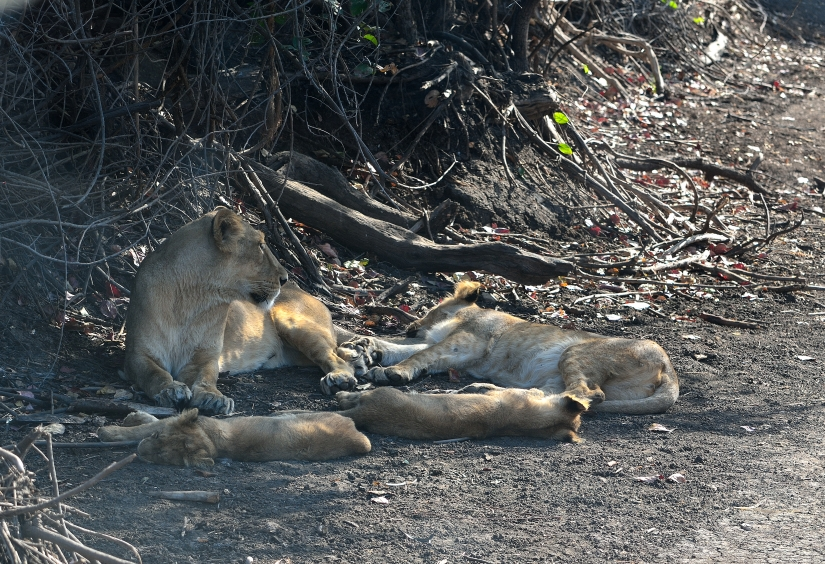 La famiglia del leone bianco.