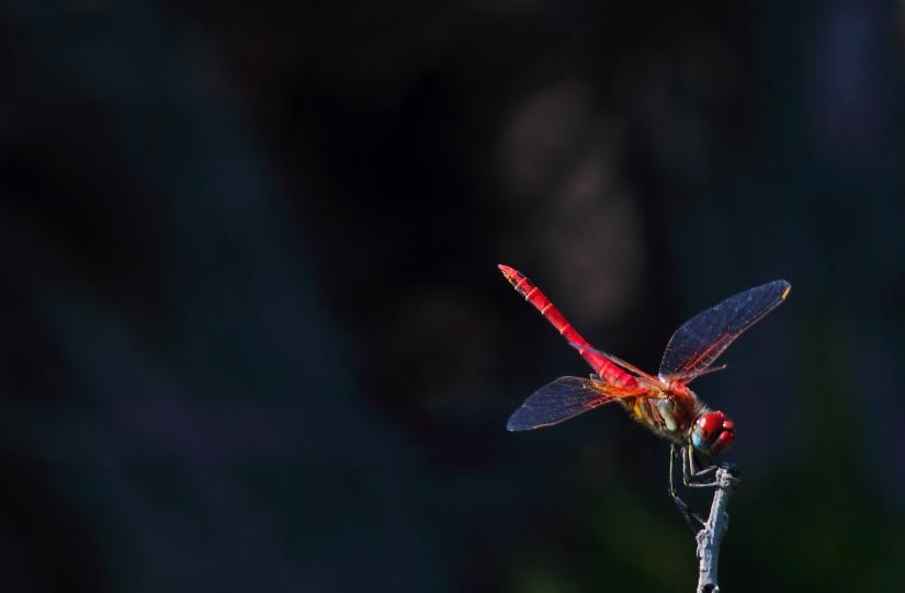 La libellula solitaria