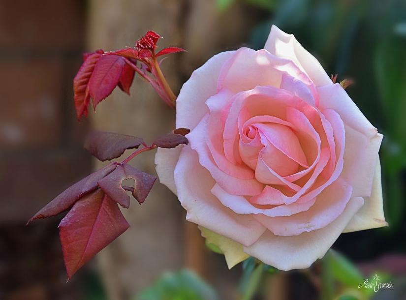 La mia rosa
